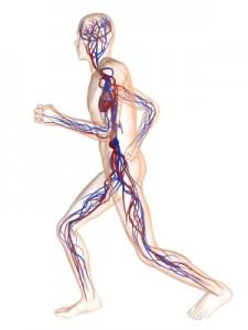 human-body-vascular-system